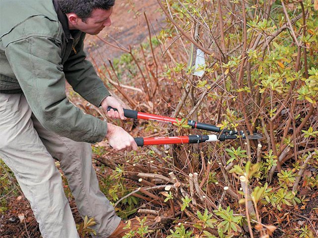Pruning Azaleas Wwwsclivingcoop