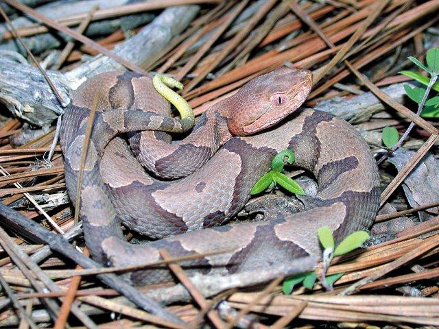 Snakes_Copperhead.jpg