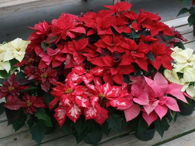 Perfect Poinsettias Www Scliving Coop