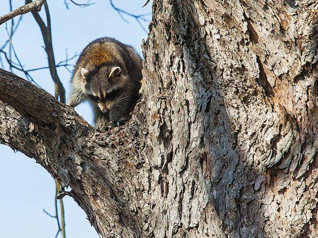 raccoon_640p.jpg