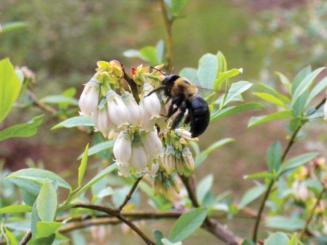 Gardener_Blueberry.jpg