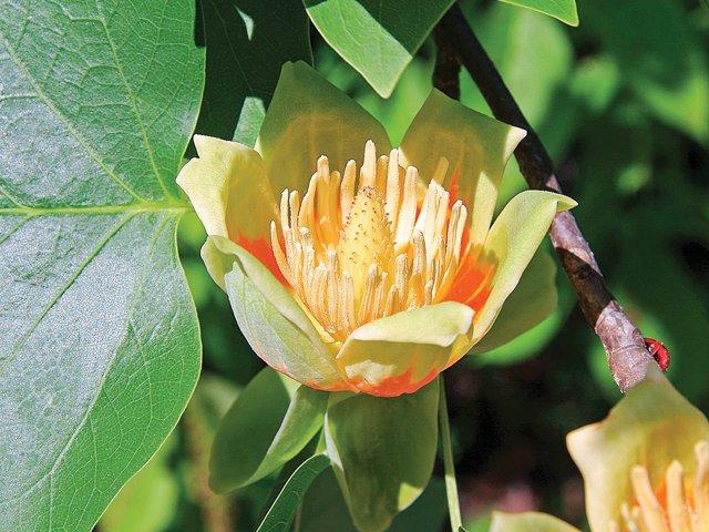 Gardener_Tulip.jpg