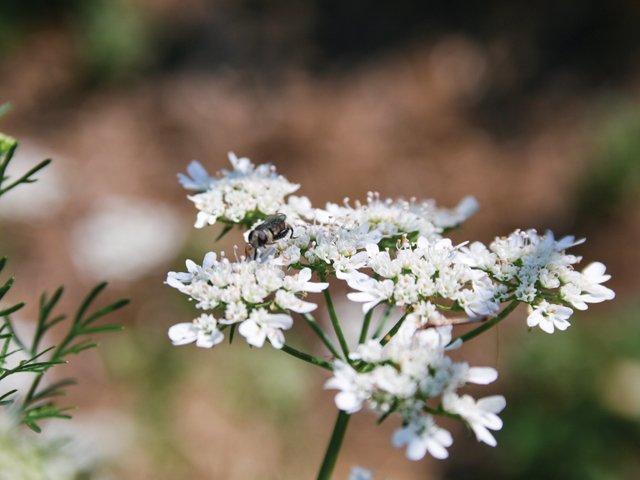 Gardener_Cilantro.jpg