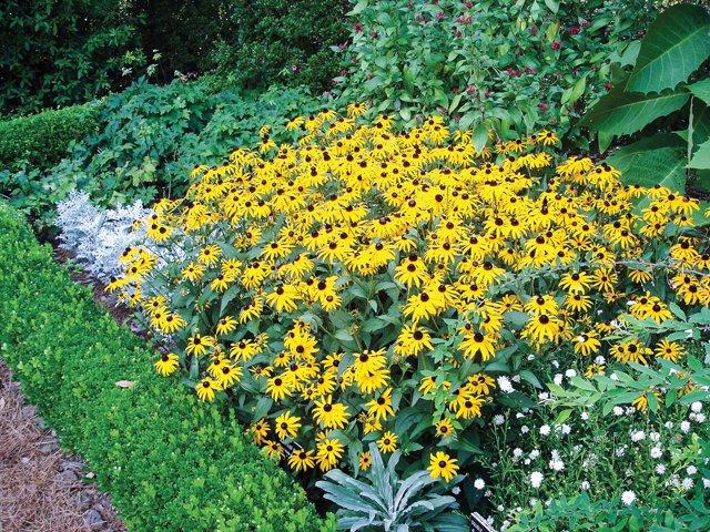 Gardener_BlackeyedSusan.jpg