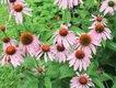 Gardener_Coneflower.jpg