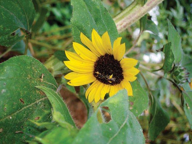 Gardener_Sunflower.jpg