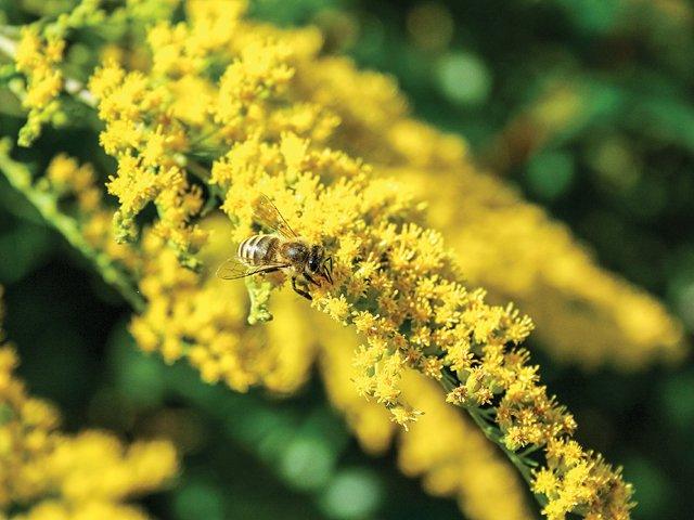 Gardener_Goldenrod.jpg