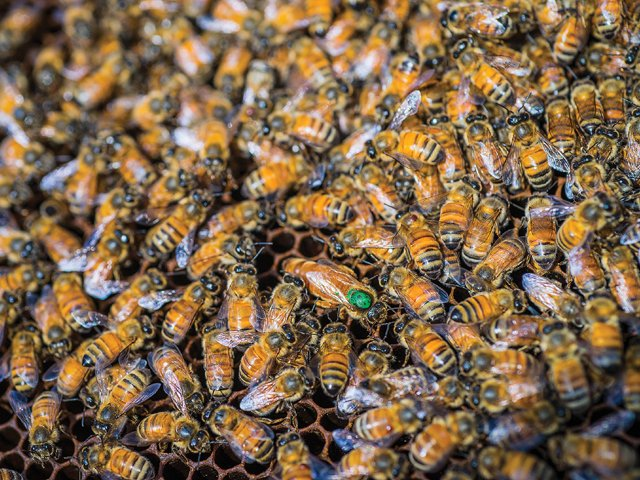 Bees_Queen.jpg