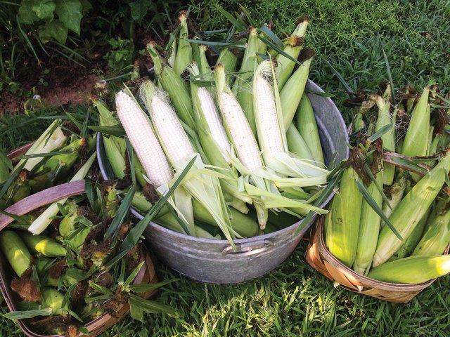 Gardener_Corn.jpg