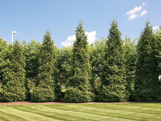 Ropriate Ing As These Green Giant Arborvitae