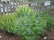 gardener-false_indigo.jpg