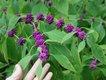 gardener-beauty_berry.jpg