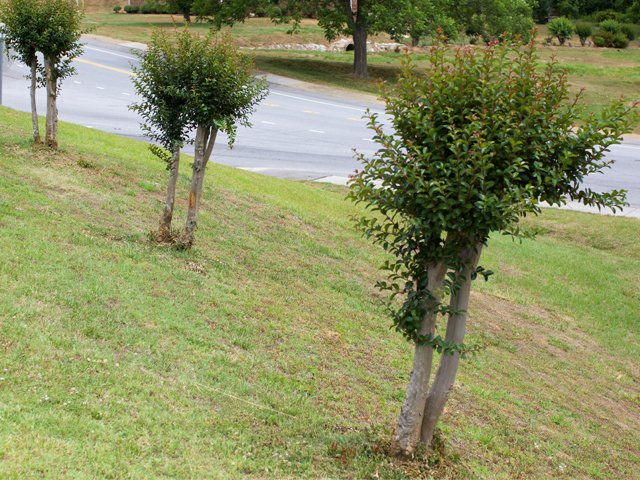 poorly-pruned-crape-myrtles.jpg
