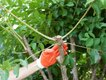 crape-myrtle-branch-after-pruning.jpg