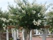 crape-myrtle-recovering-from-poor-pruning.jpg