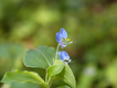 Benghal-dayflower-with-foliage
