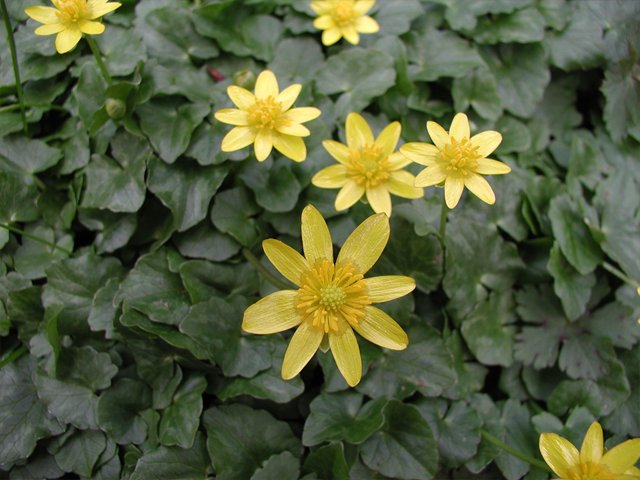 Fig-buttercup-flowers