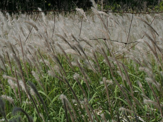 cogongrass in field