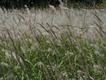 cogongrass in field