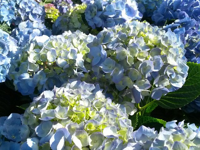 Hydrangeas.png
