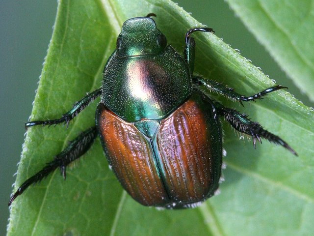 Adult-Japanese-beetle2.credit David Cappaert_Bugwood.png
