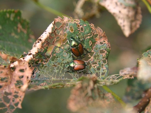 Adult-japanese-beetles-feeding.png