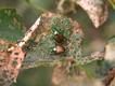 Adult-japanese-beetles-feeding.png