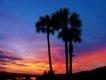 palmetto_trees1_640p.jpg
