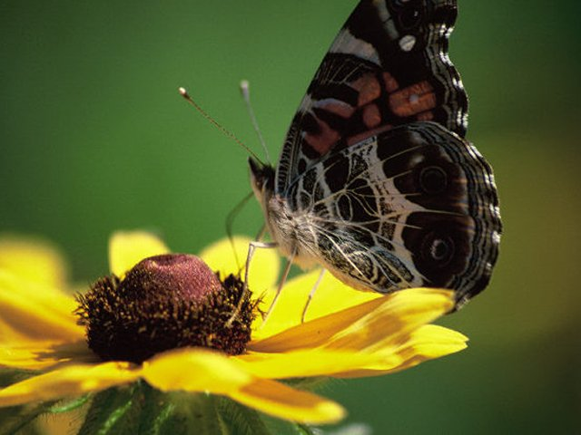 American-lady-butterfly-on-black-eyed-susan.png