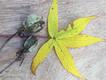 scarlet_swamp_hibiscus.png