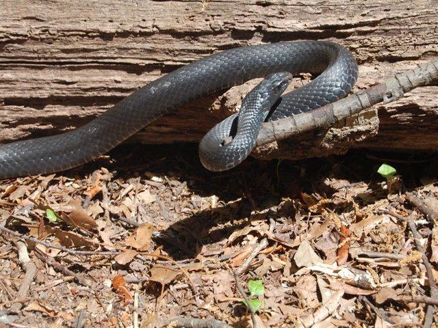 Snakes_BlackRacer1.jpg