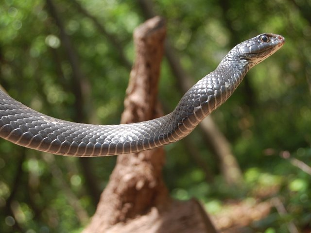 Snake_BlackRace2.jpg