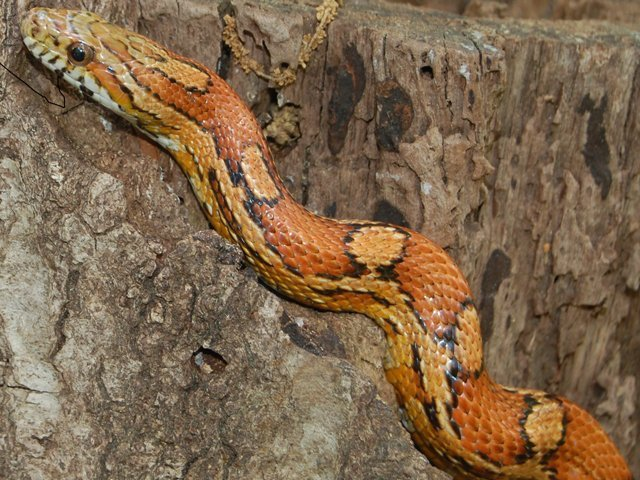 Snake_CornSnake.jpg