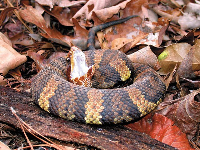 Snakes_Cottonmouth.jpg