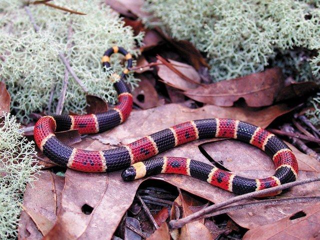 Snakes_Coral.jpg