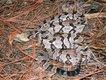 Snakes_Canebrake.jpg