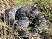 Snakes_DiamondbackRattler.jpg