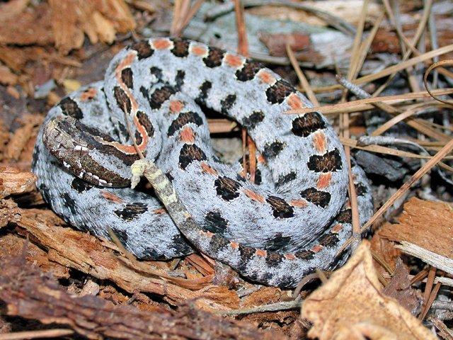 snakes_PigmyRattler.jpg
