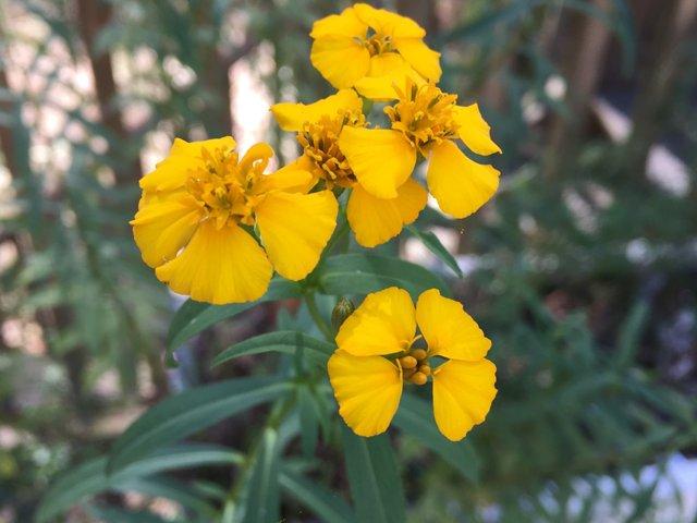 texas-tarragon-flower.png