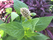 anise-hyssop_IMG_3155_credit Amy Dabbs.png