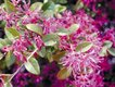 Loropetalum evergreen