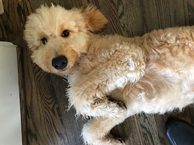 bernie-the-goldendoodle.png