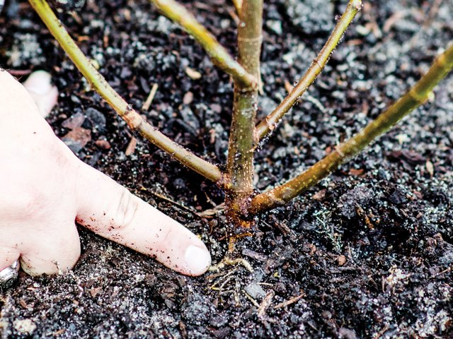 The secrets of bare-root planting 3.png