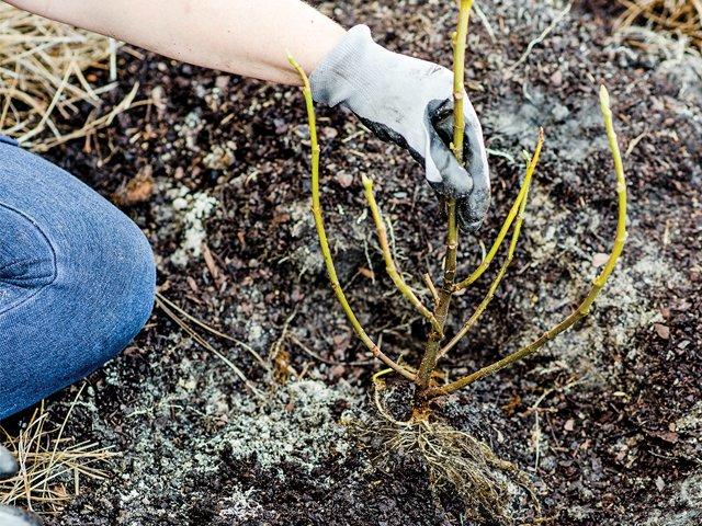 The secrets of bare-root planting 4.jpg