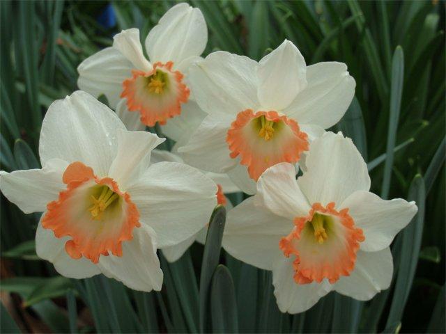 Spring Flowering Bulbs Brighten S.C. Gardens