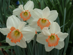 image002.narcissus salome.png