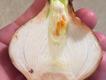 IMG_4326.cut-flower-bulb.png