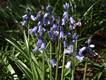 Hyacinthoides hispanica.png