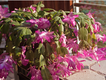 SCL Christmas Cactus 1.png