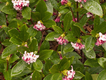 winter-daphne-bush.png